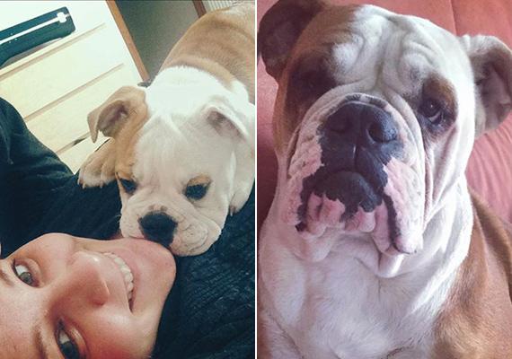 Lola, az angol bulldog már több mint egy éve Tóth Verával él. Jól látszik, hogy az egykori csöppség milyen sokat nőtt azóta.
