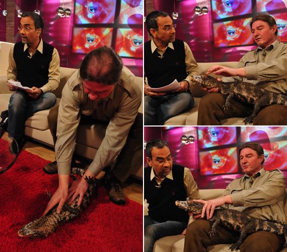 Pécsi Tibor, a Krokodil Zoo tulajdonosa egyik krokodilját hozta magával a Mokka stúdiójába, száját a biztonság kedvéért leragasztották.