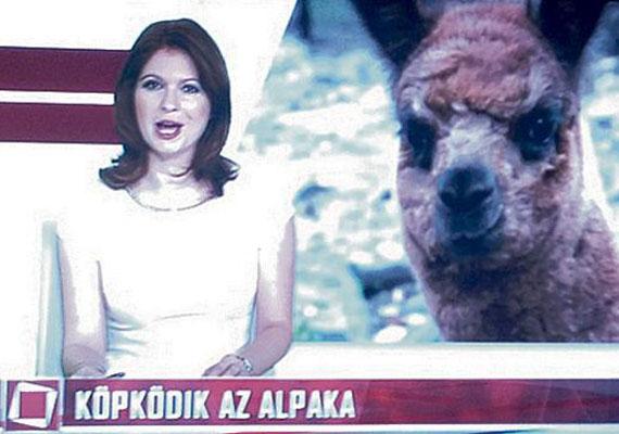 """Korábban a TV2 Tények című hírműsora is produkált egy vicces feliratot: """"Köpködik az alpaka""""."""