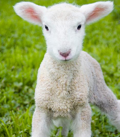 Puha báránybőrA kis bárány esetlenségével az egyik legcukibb húsvéti állat. Ha te is szívesen végigsimítanál puha bundáján, látogass ki valamelyik állatkertbe.