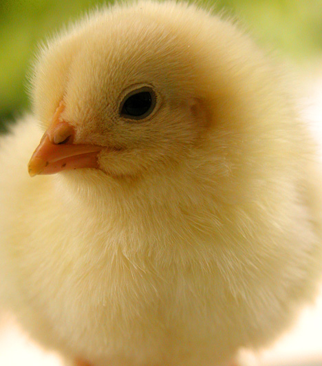 Csodacsibe  A húsvéti kiscsibék a gyerekek nagy kedvencei, hiszen aprók, mesésen puhák és hihetetlenül aranyosak.