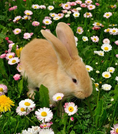 Nyuszi ül a fűbenTalálóan a híres gyerekdalhoz, ez a nyuszi is éppen a fűben ül és jóízűen falatozik.