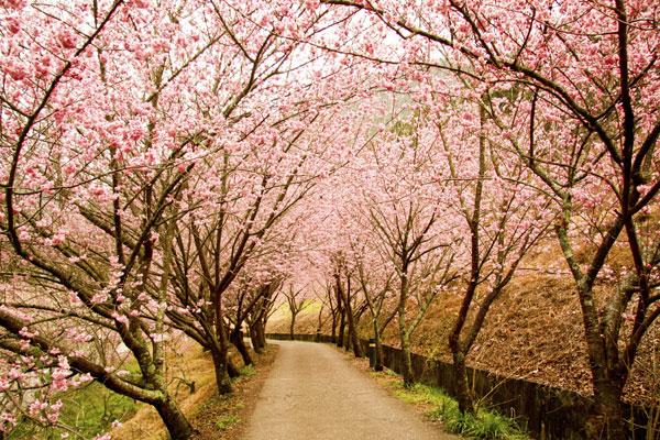 A hanami virágnézést jelent, de leginkább egy piknikre emlékeztet, amikor is összegyűlnek a családok és a barátok. A cseresznyefák alatt énekelnek, beszélgetnek, miközben jóízűen falatoznak a magukkal vitt ételekből.