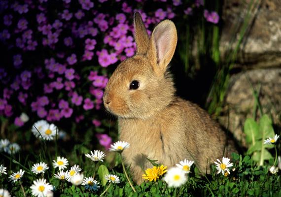 Mintha csak egy festmény lenne, annyira nyugodtan üldögél ez a nyuszi a virágok között. Kattints ide a nagy felbontású képért!