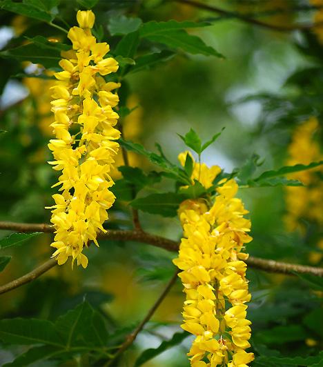 AranyesőAz aranyeső, ahogy a barka és a frissen vágott virágok, a tavasz újjászületését, egyben Jézus feltámadását szimbolizálják. A megújulás jelképe.
