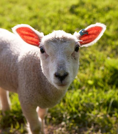 BárányA húsvét fontos jelképe a bárány. Az ótestamentumi zsidók az Úr parancsára bárányt áldoztak, majd annak vérével bekenték az ajtófélfát, hogy elkerülje őket az Úr haragja. Az Újtestamentum Jézust áldozati bárányként emlegeti, aki életét adta az emberiség megváltásáért.