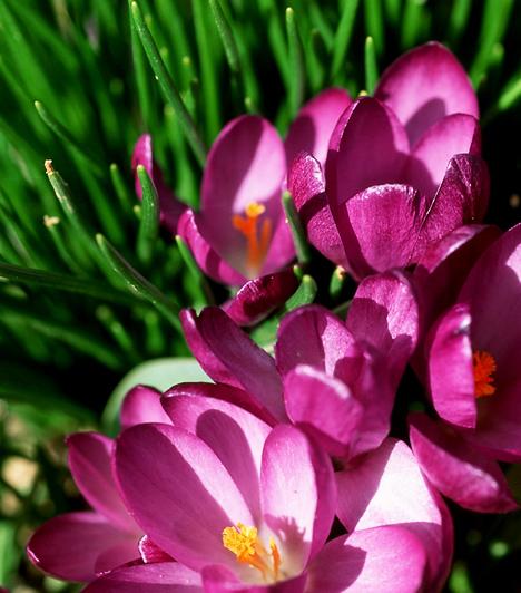 VirágokA tavaszi virágok a barkához hasonlóan fontos jelképei a húsvétnak. Szintén a természet, egyben Jézus újjászületését hivatottak jelképezni.