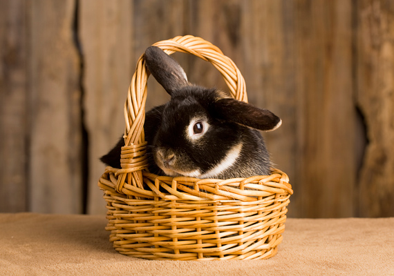 Minden idők legismertebb tapsifülese a húsvéti nyúl, aki nemcsak a termékenység szimbóluma, de még ajándékokat is visz a gyerekeknek.