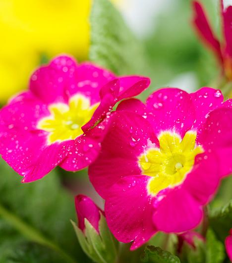 Tavaszi kankalinA tavaszi kankalin aranysárga virágzattal rendelkezik, mely mézre emlékeztető, édes, kellemes illatot áraszt. A levélrózsa közepéből kiemelkedő virágzata 10-20 centi magas, virágai ernyőszerűen csoportosulnak. Elsősorban lomberdőkben, hegyi kaszálókon találkozni vele.