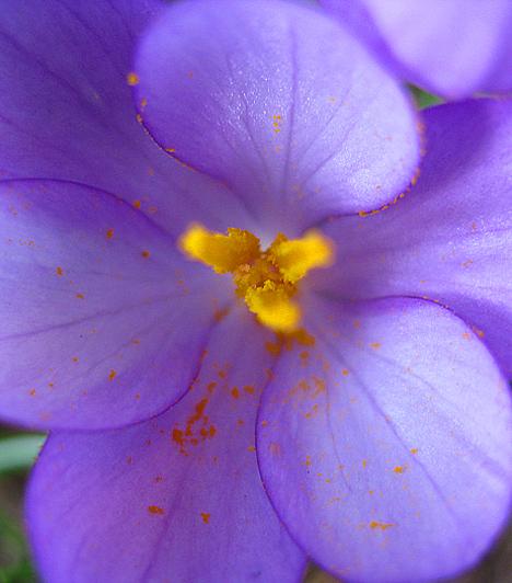 KikericsA kikericsnek Európában 23, hazánkban csupán három faja fordul elő: a rózsaszín őszi kikerics, a homoki kikerics, valamint a kora tavasszal virágzó magyar kikerics. Mindegyik fajta szigorúan védett. A növény hagymagumója ellenáll a télnek, és akár hat-nyolc termetes virágot is hoz. A tavasszal virágzók jellegzetessége a többiekénél kisebb virág.