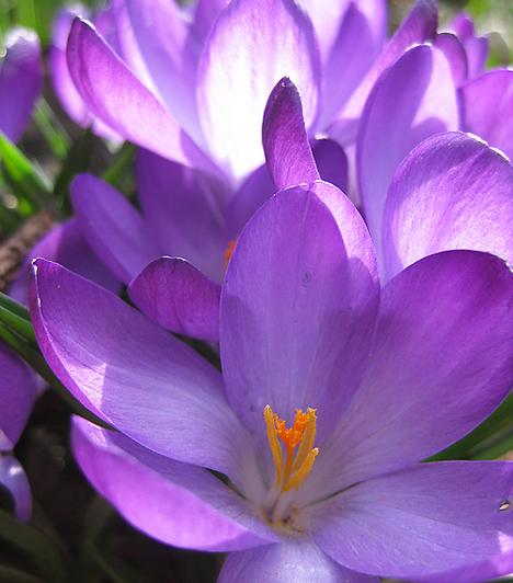 KrókuszA krókusz hagymás, évelő növény. Levelei már jóval a virágzás előtt kifejlődnek. A mindössze 8-10 centi magas növény virágainak színe nagyon élénk, lehet egyszínű, de erezett is. A kertekben tavasszal a fehér, az élénksárga, valamint a lila krókusz jelenik meg.