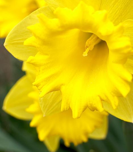 NárciszTrópusi vagy szubtrópusi területeken őshonos, hagymás növény. Nevét Narcisszosz mitológiai alakról kapta. Napsütésben és félárnyékos helyeken egyaránt jól fejlődik. Leginkább 15-17°C-os hőmérséklet mellett érzi jól magát.Kapcsolódó cikk:4 strapabíró növény, amit télig a balkonon hagyhatsz »