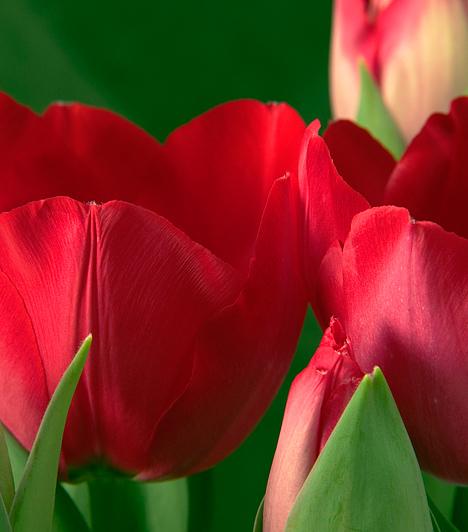 TulipánA tulipán a 17. század közepe táján terjedt el hazánkban. Eredetileg Perzsiából származik, neve turbánt jelent. A legkedveltebb és a legelterjedtebb tavaszi virág mindenütt megterem, de leginkább a napos helyeken, homokos vagy laza talajon érzi jól magát.Kapcsolódó képgaléria:15 érdekes tény a tulipánokról »