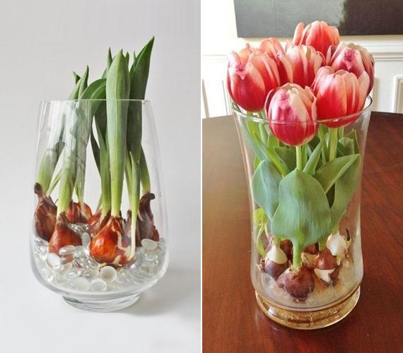 A tulipánt nem lehet nem szeretni, és ha sokáig akarsz gyönyörködni benne, akkor ne vágott formában tedd az asztalra, hanem hagymástul. A képen látható csodának annyi a trükkje, hogy a hagyma az üveggyöngyök közé eresztheti a gyökereit, ahol a vizet is találja. Csak arra kell figyelned, hogy a gyökérszint felett ne álljon víz a vázában.