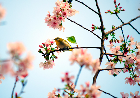 A cseresznyefa-virágzás az egyik legszebb időszak az évben, gyönyörködj sokáig gépeden te is benne. A háttérkép letöltéséhez kattints ide!