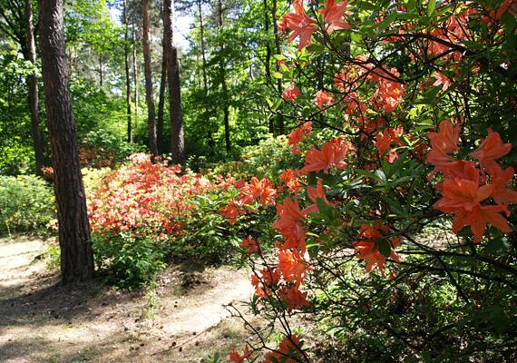 A Jeli Arborétum sztárjai, a színes rododendronok nemcsak itthon, hanem Európa-szerte is különlegességnek számítanak. Legalább egyszer az életben muszáj őket élőben is megnézni, mert nem mindennapi élményt nyújtanak.