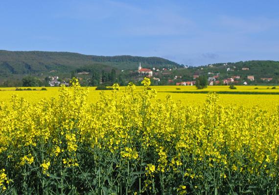 Tudjuk, hogy a repce nem számít virágnak, de a Szentbékkálla határában fekvő, sárgálló mező gyönyörködteti a szemet, nem beszélve a hegyoldalban fekvő mandulavirágokról, amelyek már márciusban kinyílnak. A falut már csak ezek miatt is érdemes felkeresni.