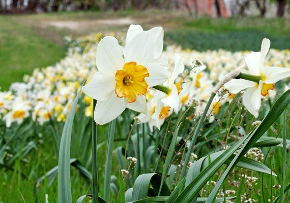 A Szentendrei-sziget egyes részein tavasszal tucatjával nőnek a nárciszok. Csodás látvány, ahogyan a fehér szirmok beborítják a mezőt.