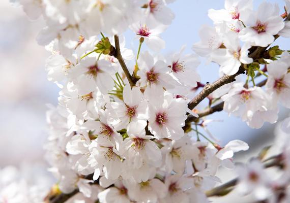 A sima cseresznyefa fehér virágai nyugalmat árasztanak. Kattints ide a nagy felbontású képért!