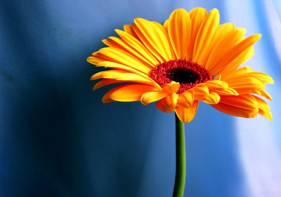Hiába nevezik a gerberát temetővirágnak, ez az egyik legszínesebb és legszebb növény. Kattints ide a nagy felbontású képért!