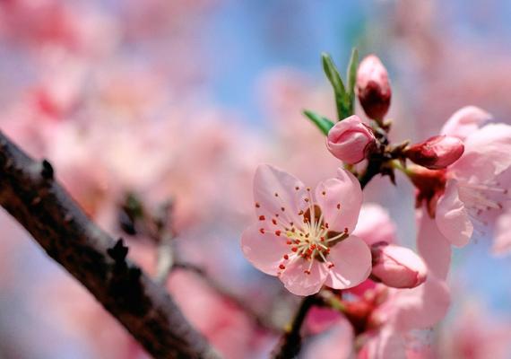 A japán díszcseresznye virágzása egyértelműen a tavasz kezdetét jelenti. Kattints ide a nagy felbontású képért!