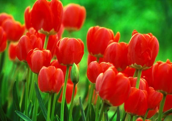 Egy ölnyi piros tulipán a legromantikusabb látvány, ha virágokról van szó. Kattints ide a nagy felbontású képért!