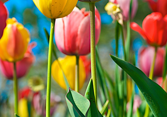 Ilyen szép, színes tulipántengert ritkán látni. Kattints ide a nagy felbontású képért!