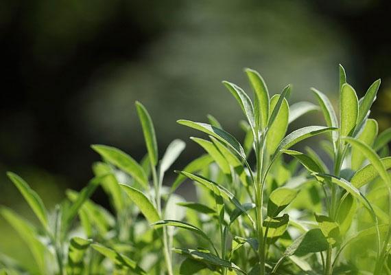 A zsálya mint gyógynövény az idegrendszerre hat, teaként vagy fűszer formájában növeli az ágybéli aktivitást.