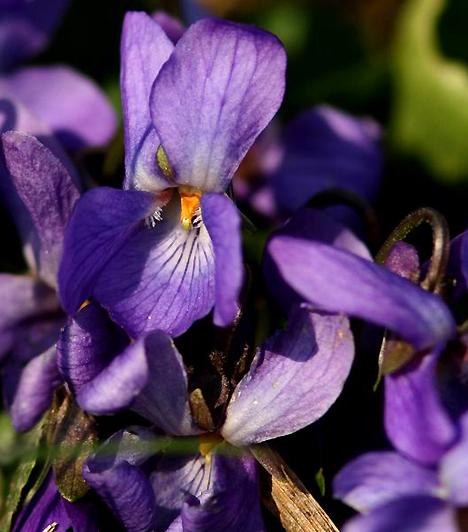 IbolyaAz ibolya Vénusz szépséges növénye, melyet szerelmi bájitalként is hatásosan bevethetsz. Nem csak illatával bódíthatod el a pasit, ha beszerzel egy üveg ibolyaszirupot, finom és vérforraló koktélokat is készíthetsz.Kapcsolódó cikk:4 csodás, könnyen kezelhető növény »