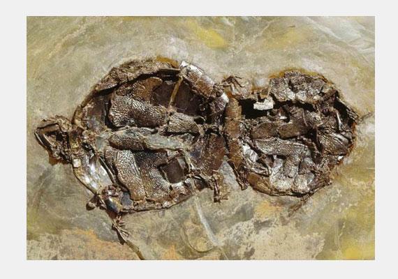 A legrégibb lencsevégre kapott aktus valószínűleg azé a két fosszilizálódott teknősé, akiket a gyönyör pillanataiban ért el a vég.