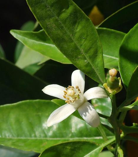 Narancsvirág  A neroli elnevezés Anna Maria de la Tremoille-ra, Neroli olasz hercegnőjére utal, aki szülőföldjén, Franciaországban terjesztette el a növényt. A narancsvirág érzéki párlatát ősidők óta afrodiziákumként alkalmazzák, még Kleopátra is szerette és használta.  Kapcsolódó cikk:  Találd meg a hozzád illő illatot »