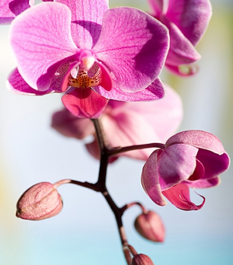 OrchideaAz ókori rómaiak és görögök az orchidea gyökeréből nyert italról azt tartották, hogy a legistenibbb vágykeltő. Ugyanakkor illat formájában is testiségre csábít, használhatod tehát erotikus masszázsolajnak vagy akár fürdővízbe csepegtetve, illatosítónak.