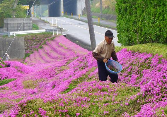 A virágoskert akkorára sikeredett, hogy a hatalmas udvart beterítő mező lett belőle. A romantikus férj két éven át ültetgette a lila virágokat.
