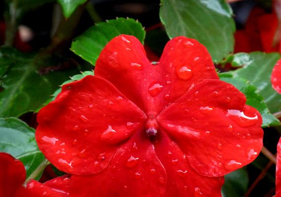 A nebáncsvirág - Impatiens -, ahogyan a neve is mutatja, hihetetlenül alkalmazkodó növény. A félárnyékos helyeket kedveli szobahőmérsékleten, locsolni pedig heti egyszer elegendő, ekkor viszont bő vizet kíván. A nebáncsvirág egyébként nagyon hálás a tápozásért, ha lehet, havonta egyszer adj neki valamilyen tápot.