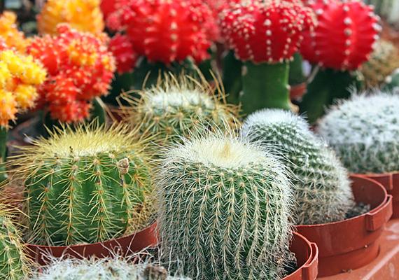 A kaktusz szúrós tüskéi benned is sündisznó-effektust keltenek, ami feng shui szerint távol tartja a feléd közeledőket.