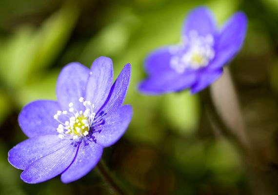 A gyönyörű, liláskék színben pompázó májvirágot - Anemone hepatica - szintén a hóvirághoz hasonlóan kell kezelni, gyűjtése, leszedése és árusítása szigorúan tilos. Szálanként 2 ezer forint bírságra lehet számítani.