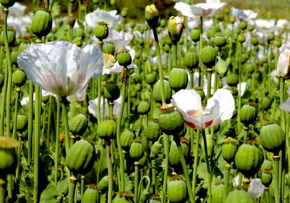 Mindez a könnyű kis virágairól ismert máknövényre - Papaver somniferum - is igaz, tartása, termesztése szigorúan engedélyköteles, amennyiben a típus nagy mennyiségben tartalmazza az alkaloidákat. A következő mákfajták tartása nem okoz problémát: Kompolti M, Kék Duna, Gödi N, Óriás Kék.