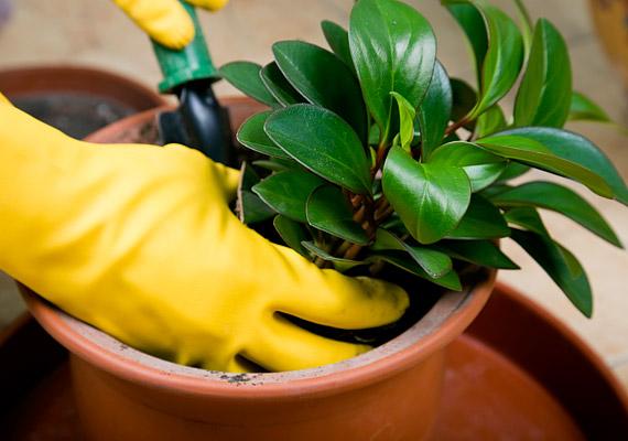 A kerek levelű növények, mint például a díszbors, mágnesként vonzzák a pénzt.
