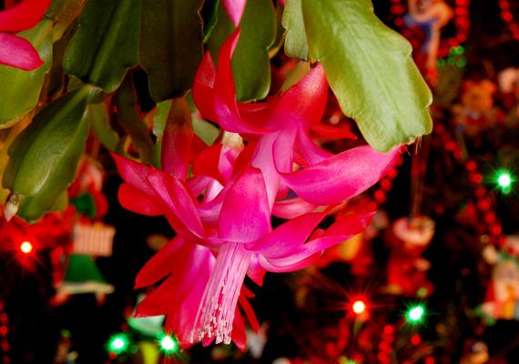 A karácsonyi kaktusz - Zygocactus truncatus - szintén elmaradhatatlan kelléke a készülődésnek. A növény számára a legideálisabb a 13-21°C-os hőmérséklet, emellett figyelj rá, hogy két öntözés között hagyd a talaját kiszáradni.