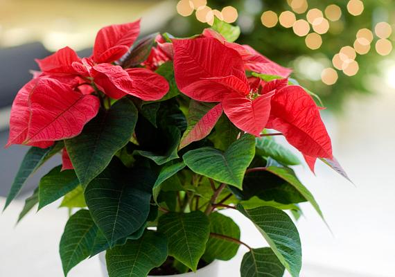 A mikulásvirág - Euphorbia pulcherrima - a legnépszerűbb adventi és karácsonyi dísze az otthonoknak. Tedd napfényes helyre, figyelj, hogy ne kapjon huzatot, földjét pedig tartsd mindig enyhén nedvesen.