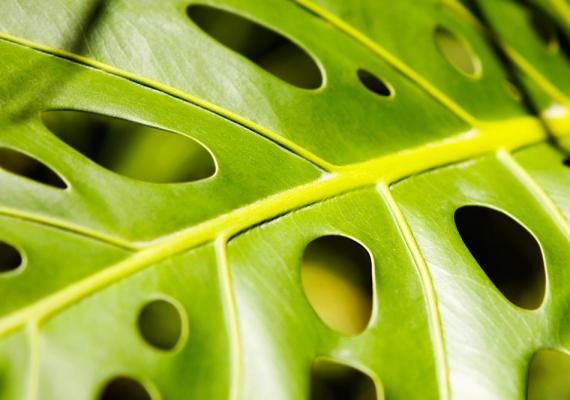 A könnyezőpálma - Philodendron - légzőgyökere és életében egyszer hozott virágának nedve is okozhat problémát: bőrrel érintkezve allergiát válthat ki, mely égő érzéssel jár.