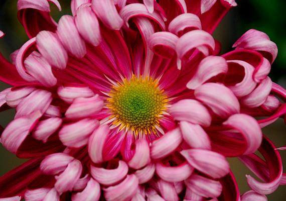 A számtalan színben kapható krizantém - Chrysanthemum - a lakásban virágpora miatt komoly allergiát okozhat: a vele való érintkezés tüsszögést, orrfolyást és szemtüneteket is eredményezhet.