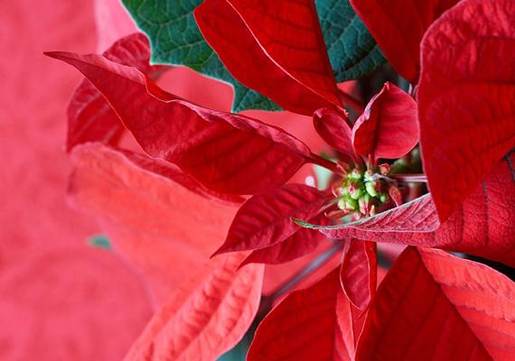 A népszerű mikulásvirág - Euphorbia pulcherrima - tejnedve könnyen okozhat allergiás reakciót, súlyos irritációt a bőrön: ha utóbbi érintkezik vele, bő vízzel kell alaposan lemosni.