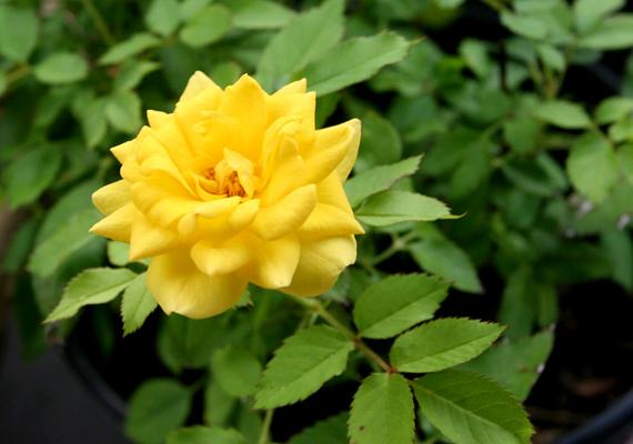 Ugyanez igaz a lakásban tartott rózsákra, szobarózsákra - Rosa Chinensis Minima - is, mikor virágzanak.