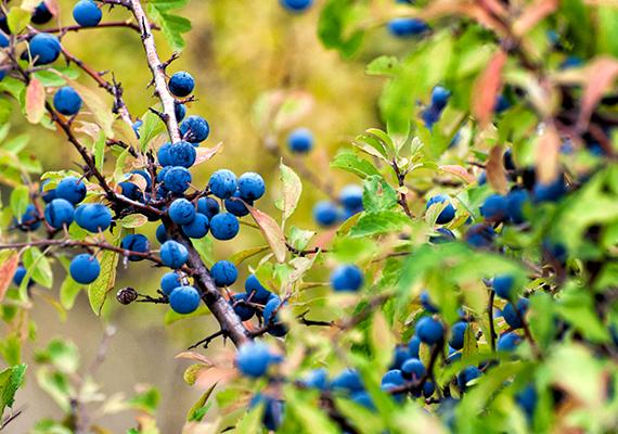Csakúgy, mint a szintén a rózsafélék családjába tartozó kökény - Prunus spinosa -, amelynek gyümölcse sem jelent elhanyagolható szempontot.