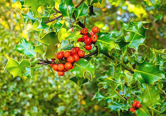 A magyal - Ilex aquifolium - hazánkban is egyre népszerűbb, és korántsem csak a karácsonyi időszakban.