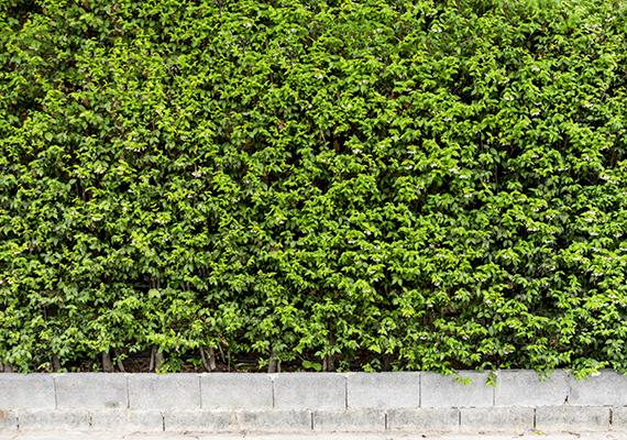 Mindemellett bármilyen sűrű, áthatolhatatlan, kellően magas, illetve vastag sövény hatékonyan láthatja el a védelmi funkciót, emellett pedig az előzetes terepfelmérést is nehezíti, ha nem lehet belátni az ingatlanhoz. Fontos azonban, hogy kerüld a nagyobb növények, cserjék olyan módon való telepítését, ami remek búvóhelyként szolgálhat a bűnelkövetők számára.
