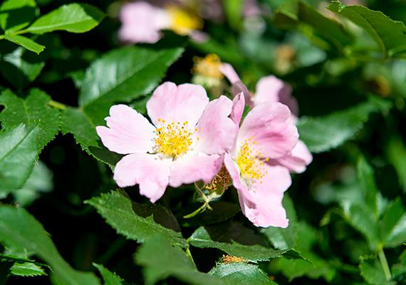 A vadrózsa - Rosa canina -, illetve ahogy sokan ismerik, csipkebogyóbokor nemcsak hasznos, de csodaszép alternatívája is a betörők elleni védekezésnek.