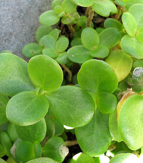 Apró levelű szobanövényA feng shui által meghatározott területeken más és más elem a domináns, ráadásul a boldogságért mindegyiket érdemes erősítened. A karrier területén jó helyen van minden üveges-tükrös tárgy, míg a gazdagság és siker részen a fa a kívánatos anyag. Az egészség és család területét bőven telerakhatod egészséges, zöld növényekkel.Kapcsolódó cikk:3 gyönyörű, vagyonokat hozó szobanövény »