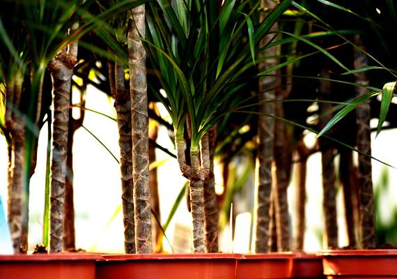 A dracéna - Dracaena - is könnyen tartható szobanövény, nem kell túl gyakran öntözni, azonban kiváló légtisztító hatással bír.